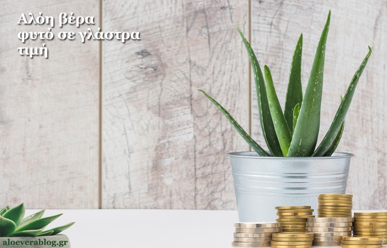 Αλόη βέρα φυτό σε γλάστρα τιμή