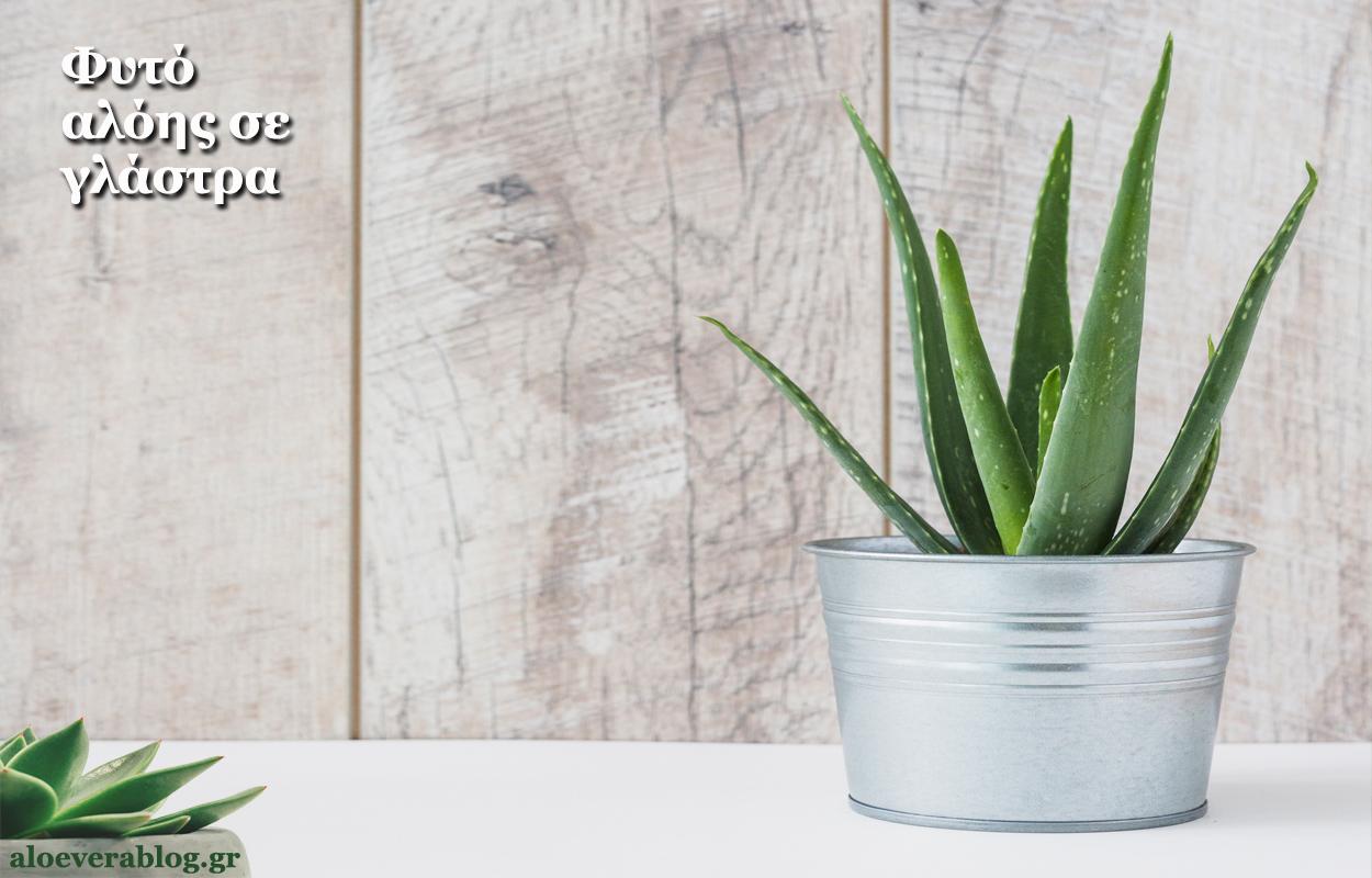 Αλόη φυτό σε γλάστρα