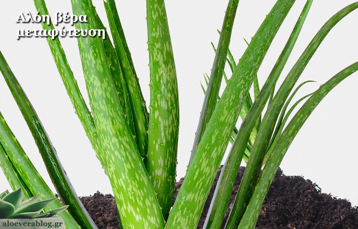 Αλόη βέρα φυτό μεταφύτευση