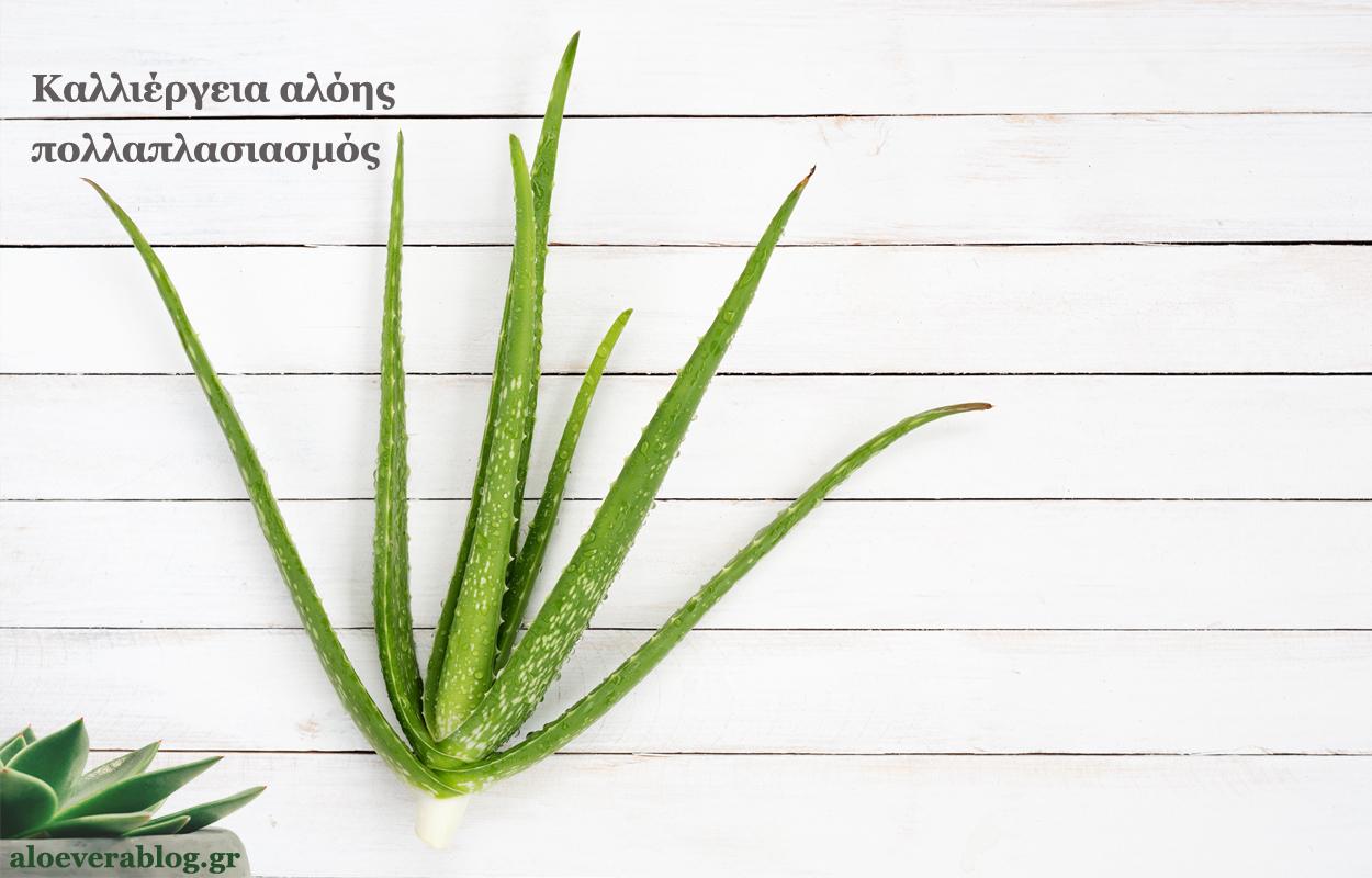 Καλλιέργεια αλόης πολλαπλασιασμός