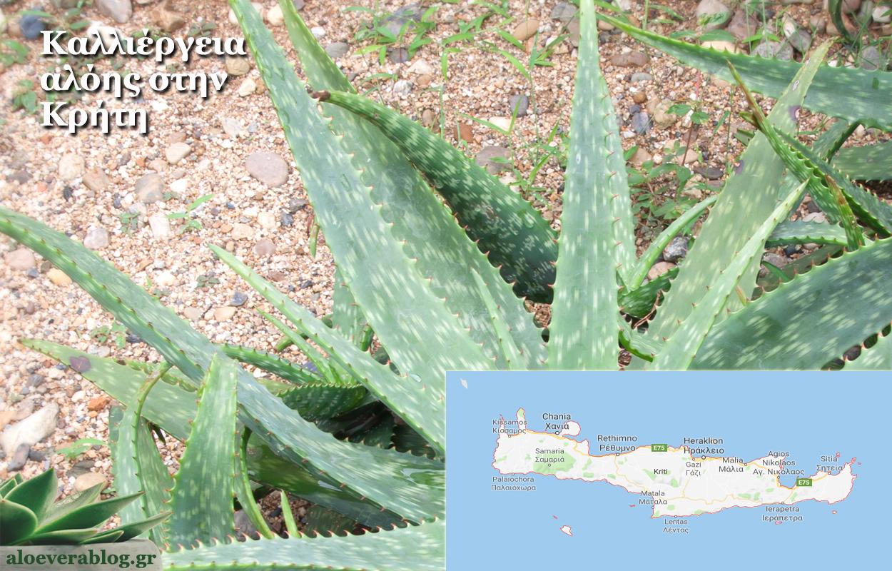 Καλλιέργεια αλόης στην Κρήτη
